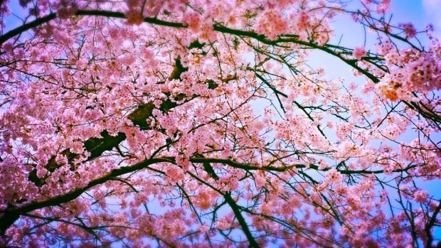 cherry-blossom-620x349